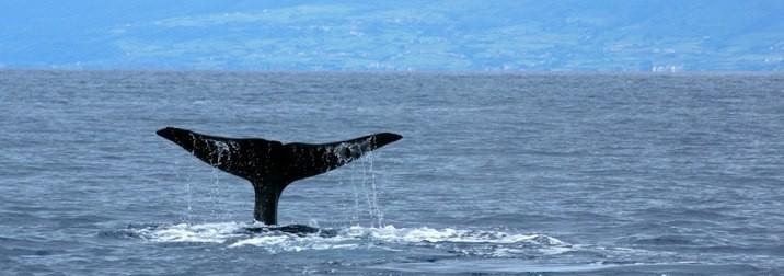 Azores:Ballenas y Delfines.