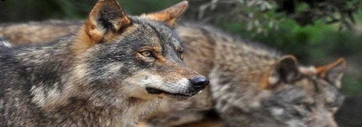 Tras las huellas del lobo