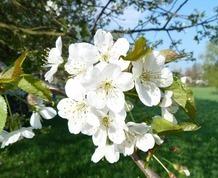 Abril: Valle del Jerte en flor