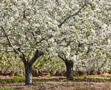 Valle del Jerte. La Fiesta del cerezo en flor